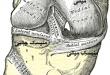 آموزش و آناتومی زانو