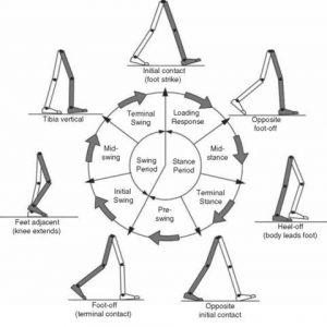بهترین درمان اختلالات ستون فقرات-پادرد: چرخه گیت (gait)